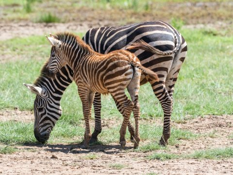 Zebras beim Grasen in Tansania