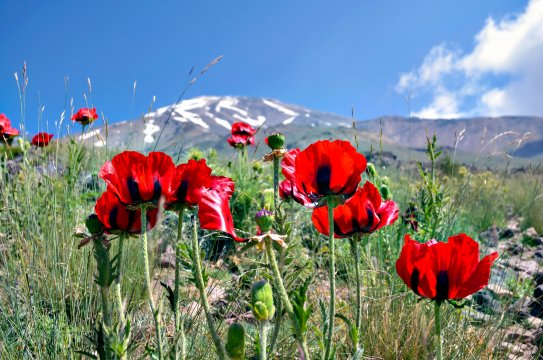 AS_ARE_Mohn_am_Fuss_des_Damavand