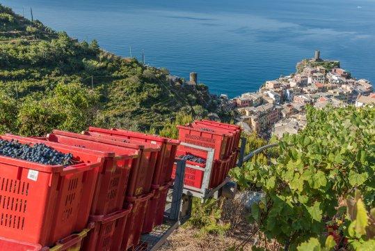 Weinernte bei Cheo oberhalb von Vernazza Cinque Terre