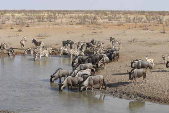 Namibia-Gnus-und-Zebras-am-Wasserloch