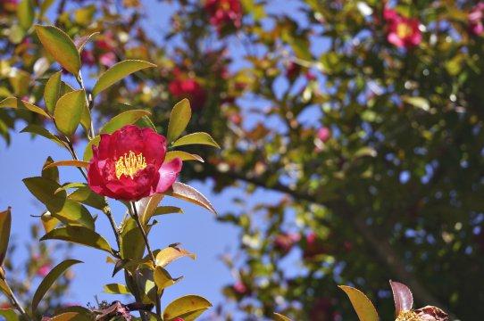 Blume Kamelie