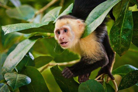 Kapuzineraffe im Jungle von Nicaragua
