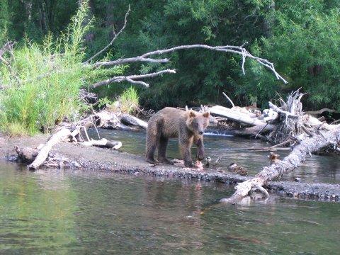 Braunbär am Fluss