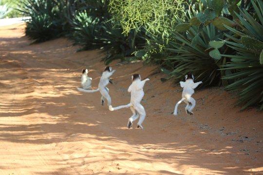 Madagaskar-Sifaka-Gruppenspringen