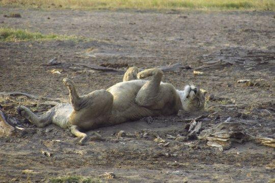 Loewin liegt auf dem Ruecken im Amboseli Nationalpark