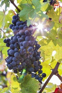 E31 Weintrauben in der Goriska brda_2