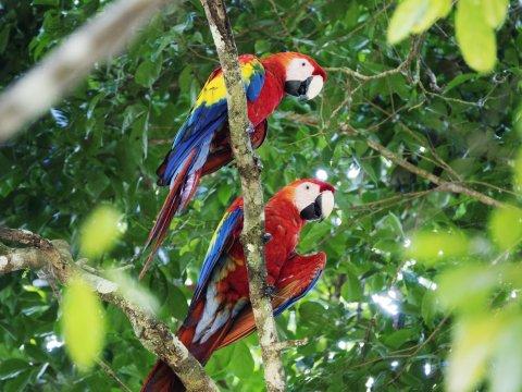 Papagei Guacamayas