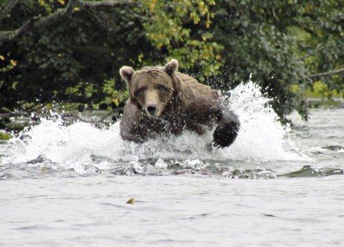 Katmai Baer jagt Fisch