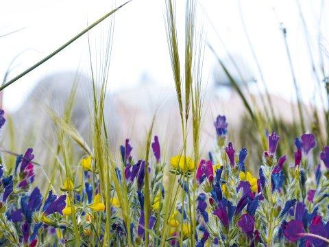 Blumen zwischen Granitfelsen im Antiatlas_2
