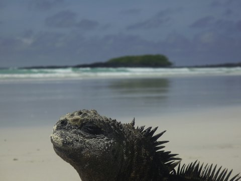 Galapagos Leguan 2