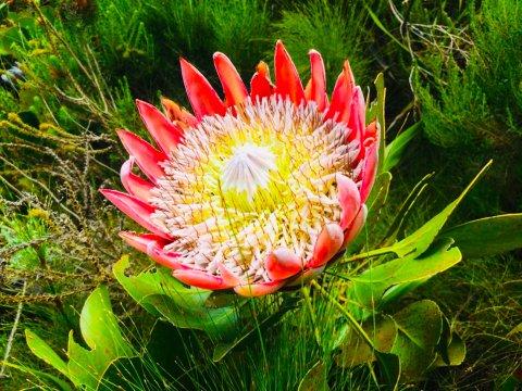 Blühende Protea