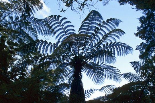 Farnbäume in Neuseeland