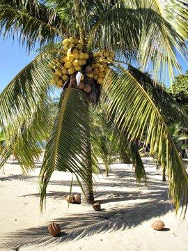 Palme Cayos Cochinos Karibische Kueste_2