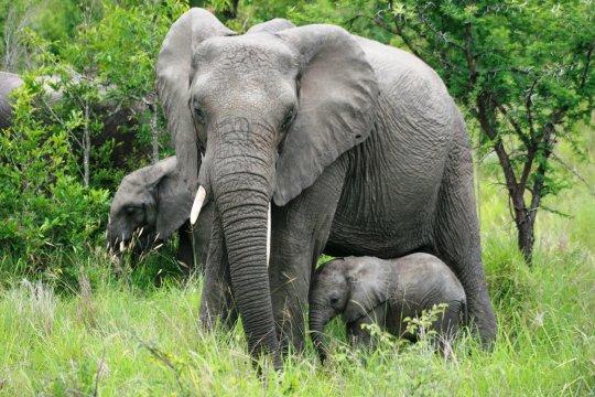 Elefantenmutter und Junges