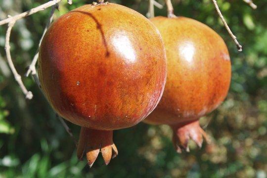 Granatäpfel auf den Kanaren