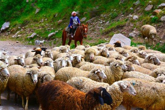 Schafe in der Grigorjev-Schlucht
