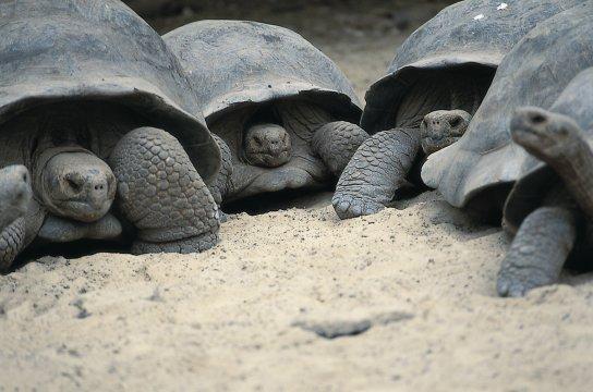 Riesen-Schildkröten auf Galapagos