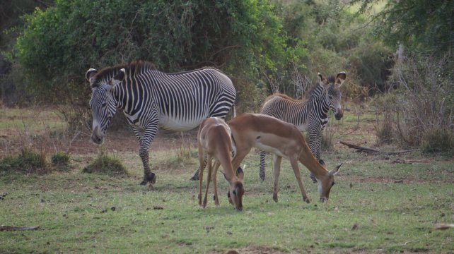 Kenia_Samburu NR_Grevyzebras und Impalas