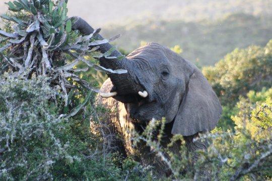 Elefant schnuppert an Planze