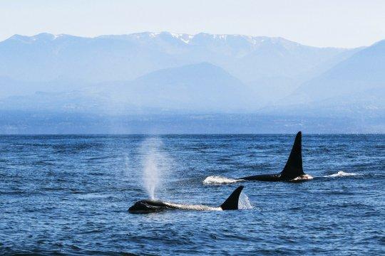 Westküste Kanada Wale