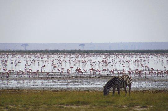 Zebra vor tausenden Flamingos_2