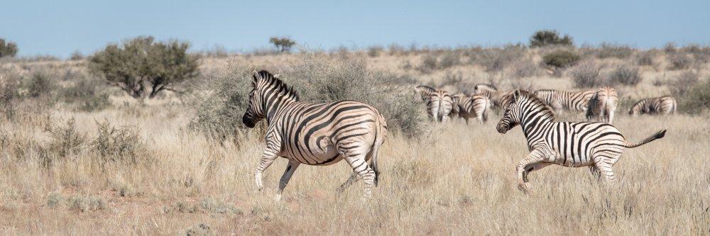 Kalahari-Laufende-Zebras