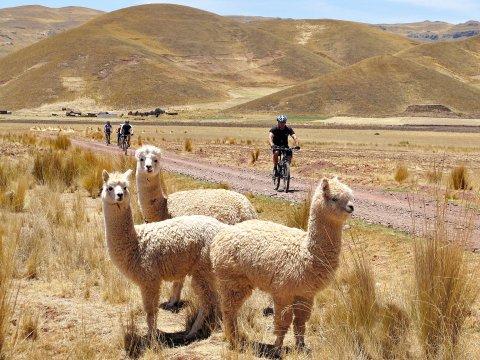Mountainbike und neugierige Lamas