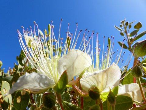 Kapern-Blume in der Sahara