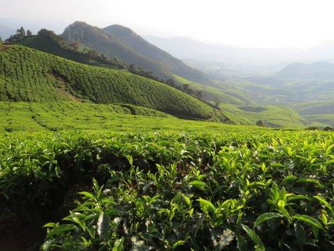 Teeplantage Papatthi Chola