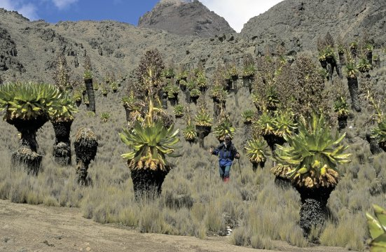 Senecien am Mt. Kenya