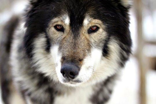 Freundlicher Husky_2