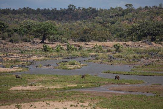 Südafrika-Krüger-Nationalpark-Tiere-am-Trinken