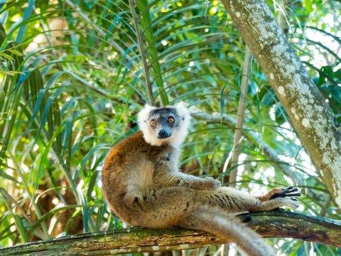 Madagaskar-Lemur-entspannt-auf Baum
