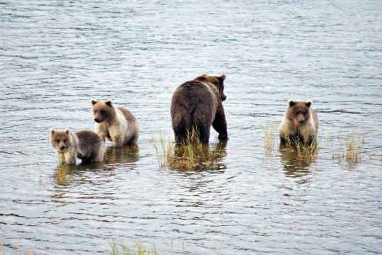 Katmai Bärenfamilie