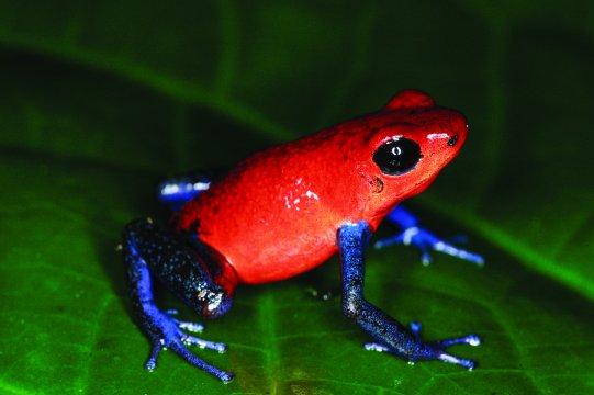 Costa-Rica-Gipftpfeilfrosch-Costa-Rica