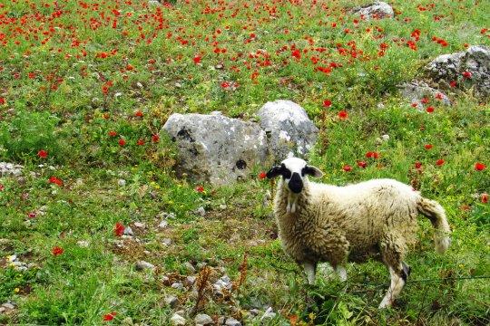 Schaf im Mohnfeld bei Chefchaouen