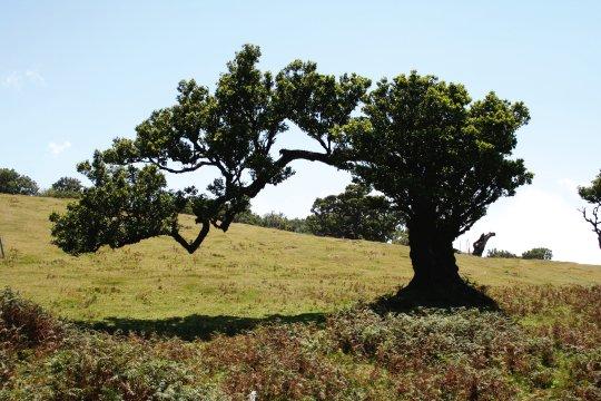 Fanal Madeira Lorbeer Baum