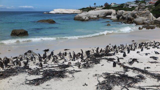 Südafrika-Pinguine-Simonstown