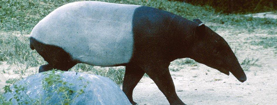 _AMS_BSK_Amazon_tapir_01942