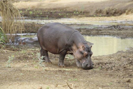 Hippo auf Wassersuche im Tsavo West NP