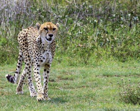 Gepard Ngorongoro