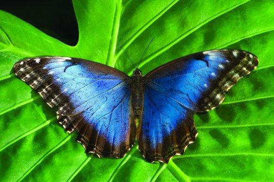 Costa-Rica-Mariposa-Schmetterling