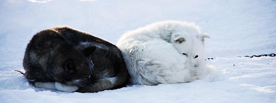 schlafende Huskies