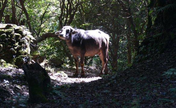 Wasserbüffel auf dem Weg