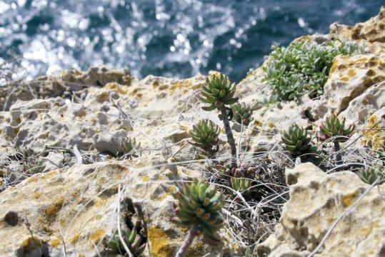 Pflanzen Cabo São Vicente