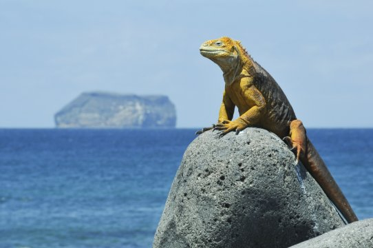 Leguan auf den Galápagos-Inseln