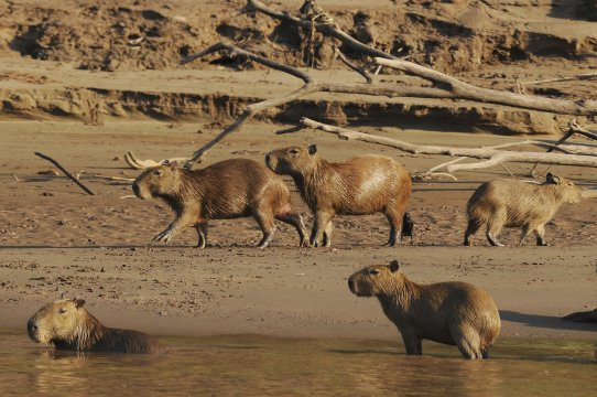 Typisch im Amazonas-Gebiet: Wasserschweine_2