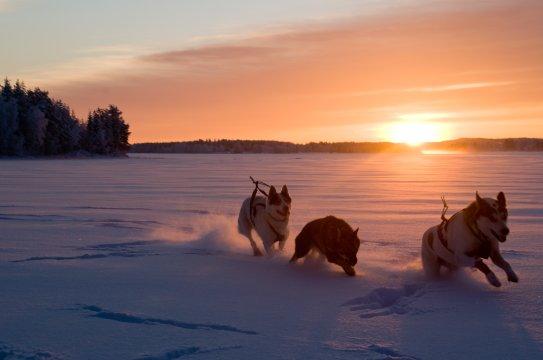 Schlittenhunde in Schwedisch Lappland