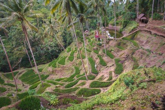 Reisfelder in Bali