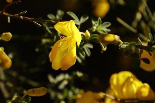 Ginsterblüte